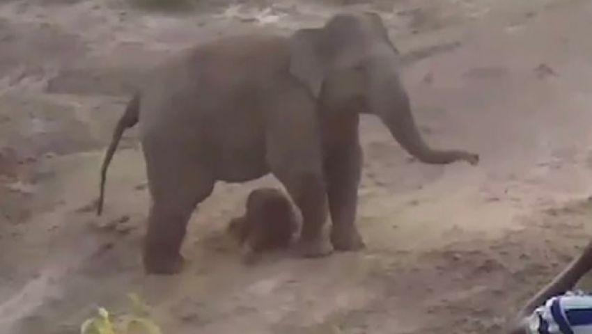 ميرور: لحماية مولوده.. فيل يقتل شخصًا تحت أقدامه في الهند