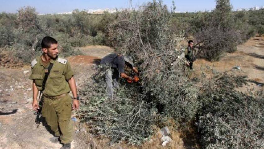 الاحتلال يغتال «زيتون فلسطين».. لماذا يكره الصهاينة تلك الشجرة؟