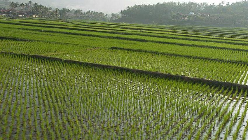 الحكومة تسمح بتصدير الأرز لصالح رجال الأعمال