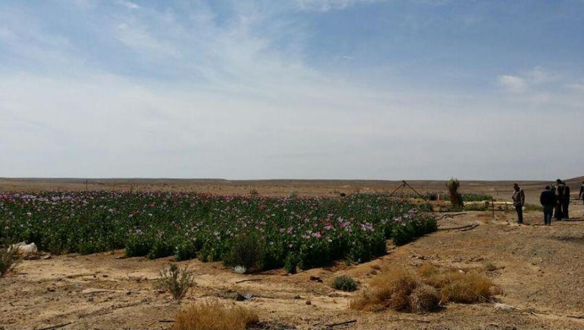 بالصور .. ضبط مزارع خشخاش وأسلحة وذخيرة بشمال سيناء