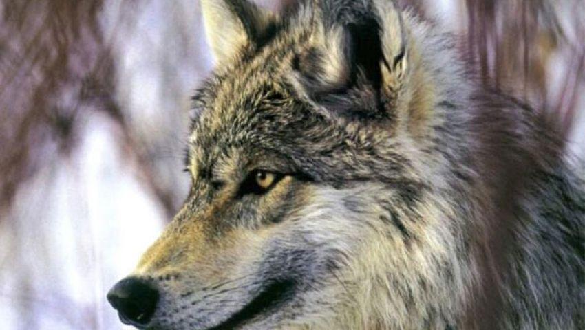 قتل ذئب العاشر من رمضان