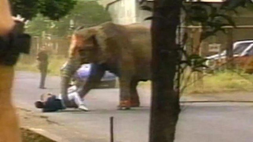 شاهد.. فيل يقتل مدربه دهسا قبل فراره خارج السيرك