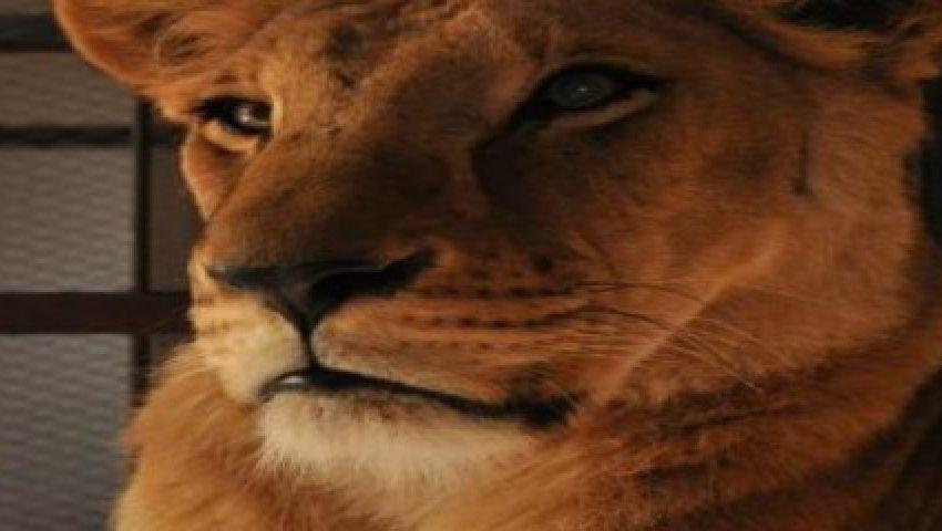 فيديو.. مواطن كويتي يعثر على أسد