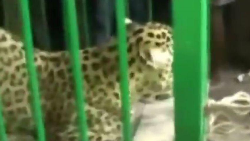 بالفيديو.. نمر يهاجم مدرسة بالهند