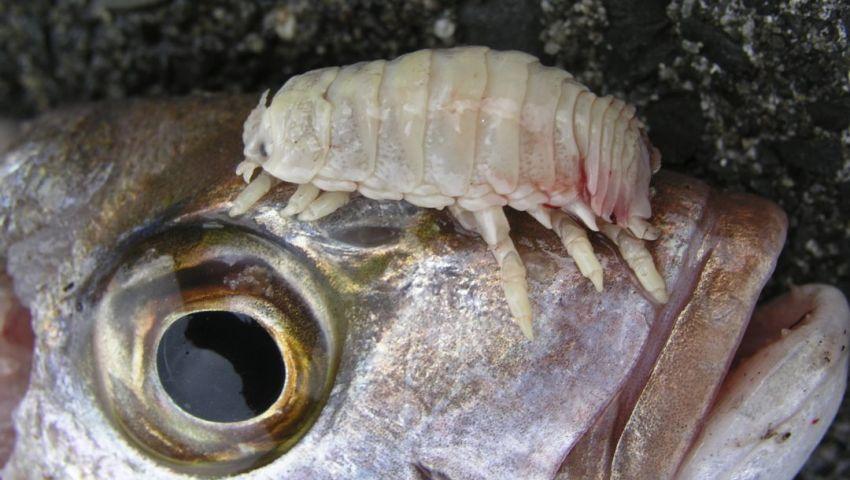 فيديو  «الأيزوبودا» حشرة قاتلة تتغدى على أسماك بحيرة قارون