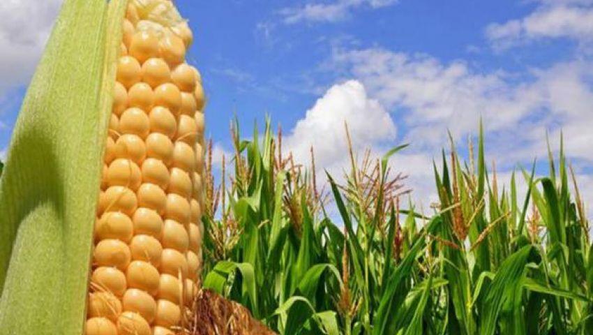 الحكومة تحدد سعر شراء الذرة الصفراء من الفلاحين عند 2100 جنيه للطن