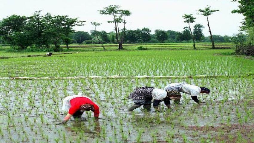زراعة 57 ألف فدان أرز بدمياط العام الحالي