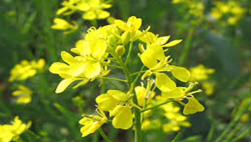 نبات الخردل يمنع نمو الخلايا السرطانية