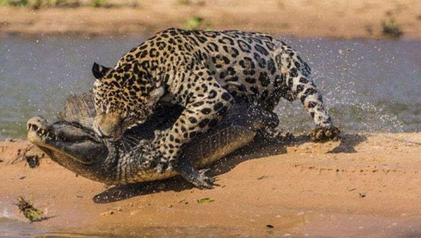 شاهد.. نمر يصطاد تمساح في 5 ثوانٍ