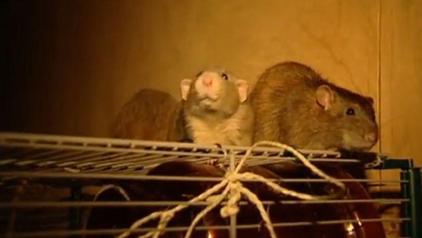 فيديو.. فئران تكشف عن المتفجرات والمخدرات