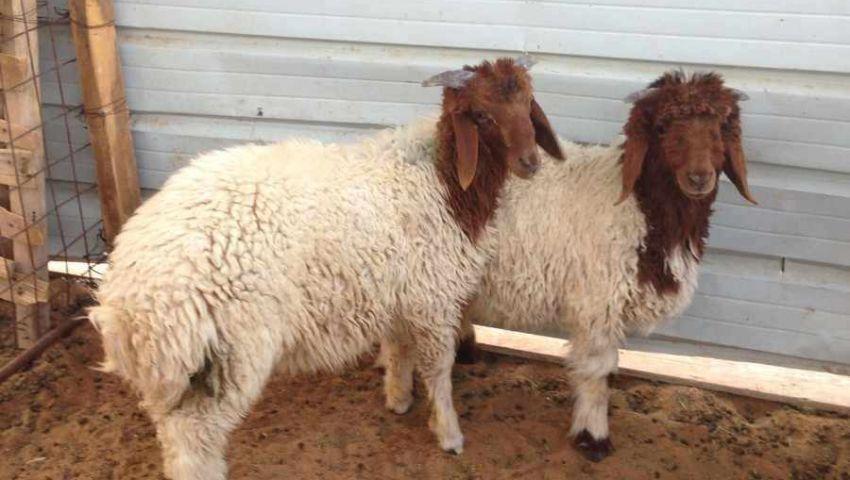 ضبط مدرس سرق خروفين قبل عيد الأضحى بقنا