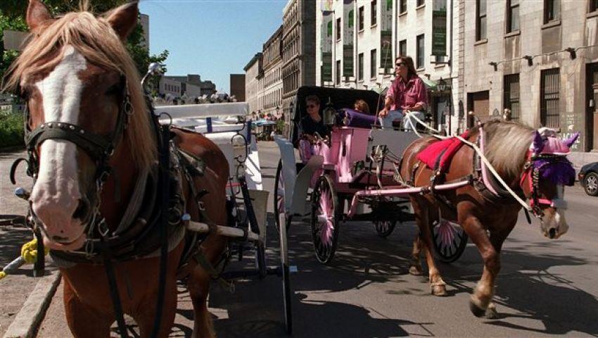 بعد قرار حظر الحنطور.. مونتريال تحيل الخيول إلى التقاعد