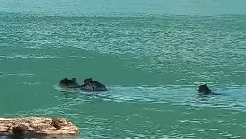 فيديو  بطريقة مذهلة.. دبة تنقذ رضيعها من الغرق