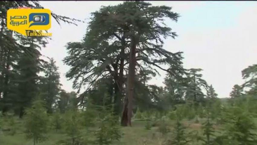 فيديو.. أَرز الأطلس.. غابات معرضة للانقراض