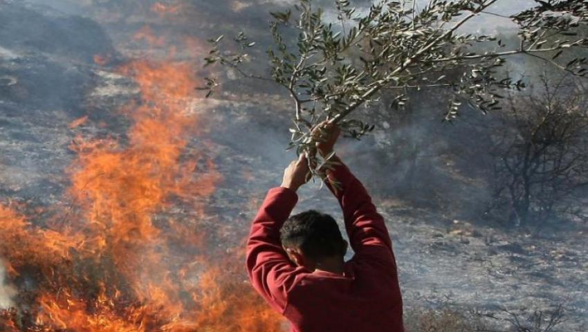 عربدة وقتل وحرق للزيتون.. وحشية المستوطنين تتزايد في الضفة