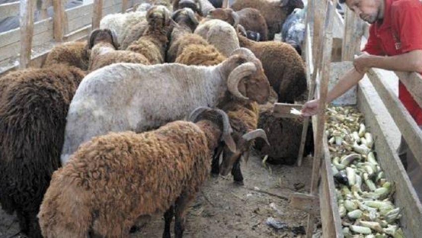 تعرف علىأماكن شوادر «التموين»لبيع اللحوم الحيةبـ62 جنيهًا للكيلو