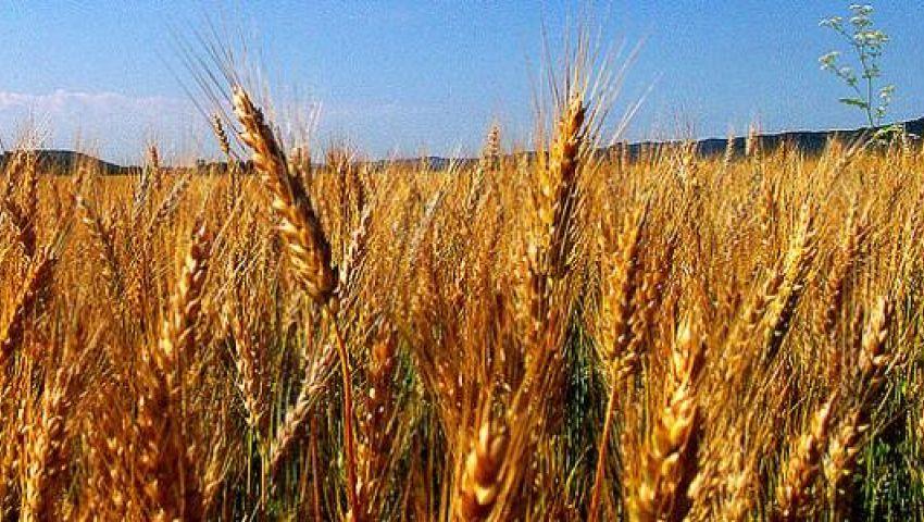 مجلة ألمانية: توقعات باستيراد مصر مزيدًا من القمح في 2019