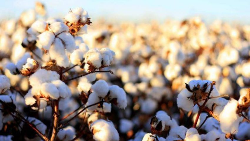 الزراعة والصناعة تعلنان ضوابط تطبيق النظام الجديد لتداول القطن