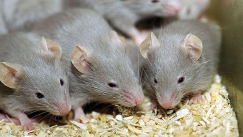 عينة فئران تكشف تضرر الأبناء من بدانة الآباء