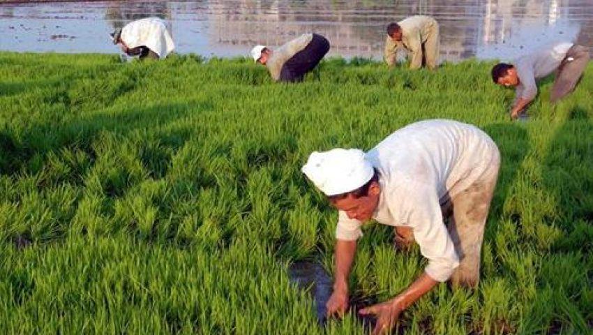 توقعات بارتفاع سعر الأرز 20% في السوق المحلية