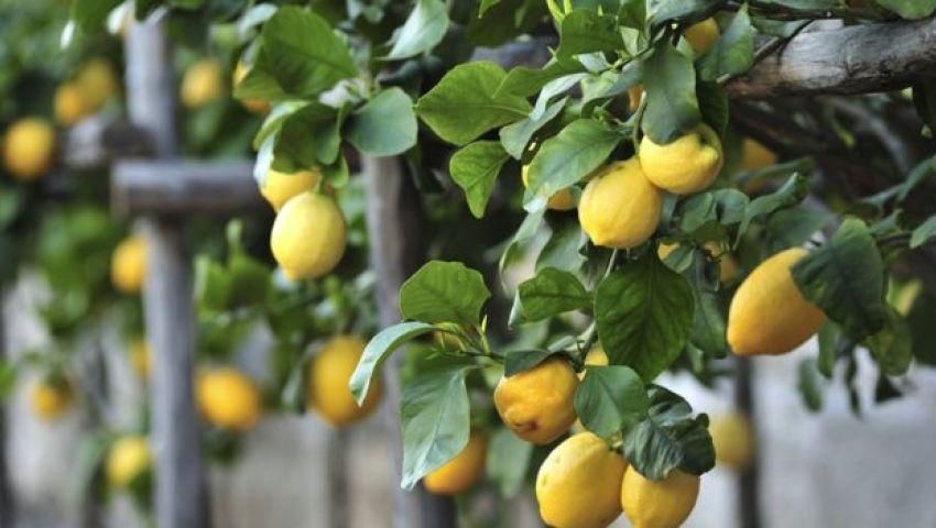 فيديو| فوائد لا يعرفها كثيرون عن الليمون.. أبرزها في القشر والشم