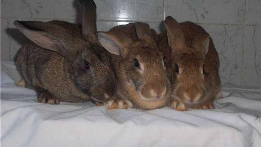 إنتاجها كثيف ومُقاوِمة للأمراض.. زراعة الإسكندرية تستنبط سلالة أرانب جديدة