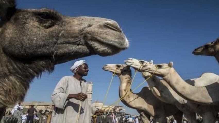 تصل لـ35 ألف جنيه.. «برقاش» قبلة تجار الجِمال قبل عيد الأضحى