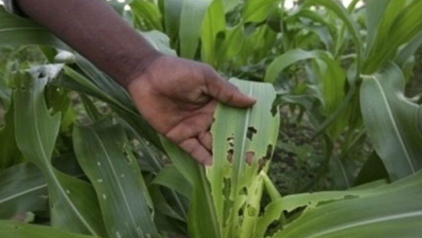 تدمر الزراعة وتنشر الجوع.. هذا ما تفعله دودة الحشد