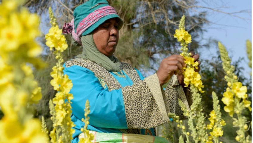 صحيفة ألمانية: بالأعشاب الطبية.. صحراء مصر خضراء