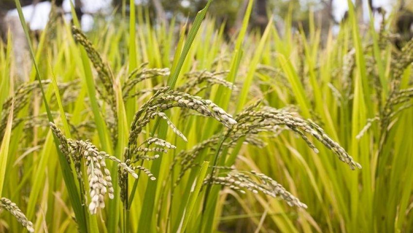 حظر زراعة الأرز بطريقة البدر في مصر.. وهذه عقوبة المخالفين