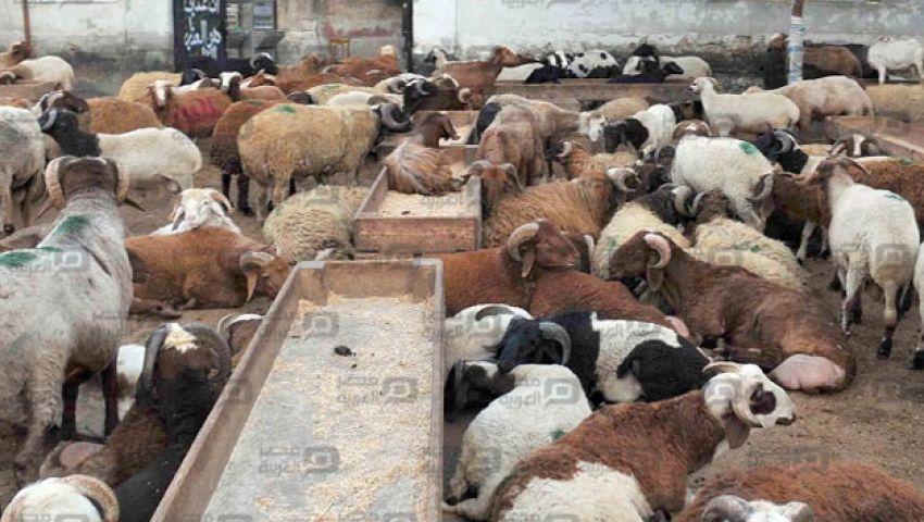 بالصور.. الخراف بالإسكندرية للفرجة.. واللحم الإماراتي يغزو الأسواق