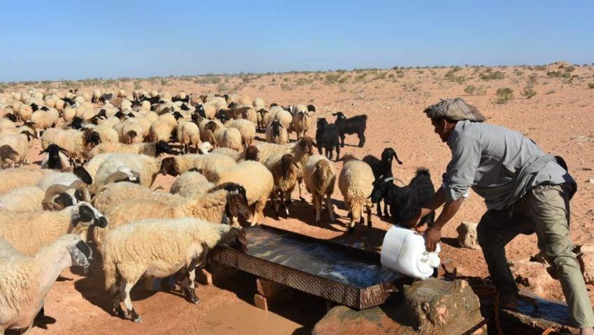 ظهر في السودان.. حمى الوادي المتصدع مرض حيواني قاتل يدق الأبواب المصرية