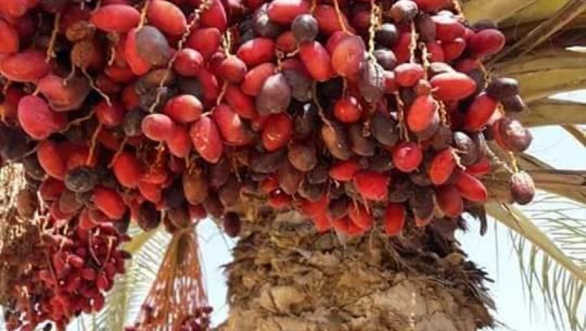صور| نخيل شمال سيناء.. إنتاج غزير من البلح والعجوة وثروة مهدرة