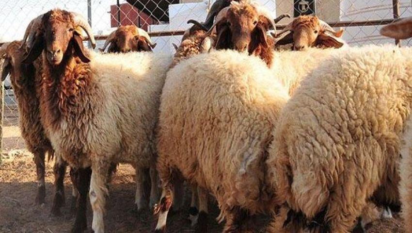 فيديو بمناسبة عيد الأضحى إزاي تشتري خروف العيد مصر العربية