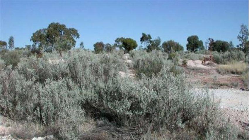 اكتشاف أشجار أسترالية تنبت ذهبًا