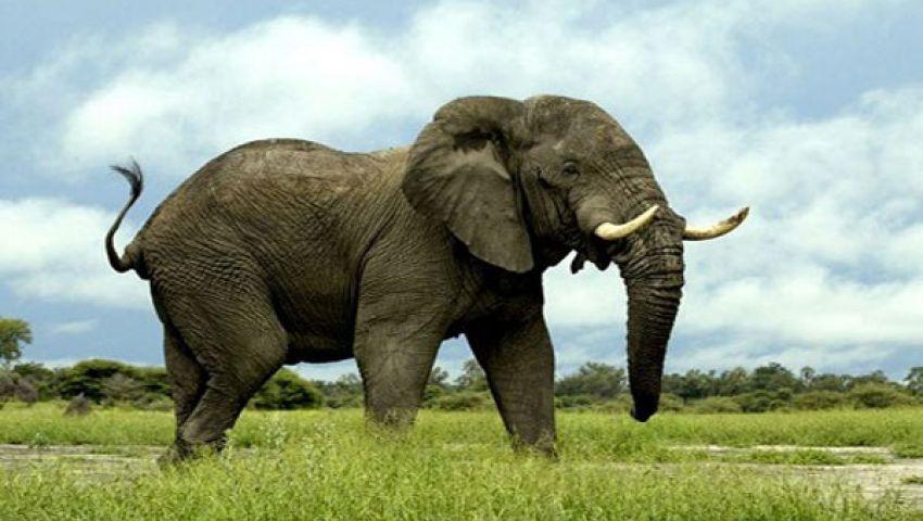 الفيلة في تنزانيا تواجه خطر الانقراض