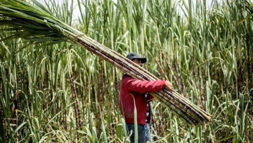 لأول مرة في مصر.. زراعة قصب السكر في الصحراء بـ «التنقيط»