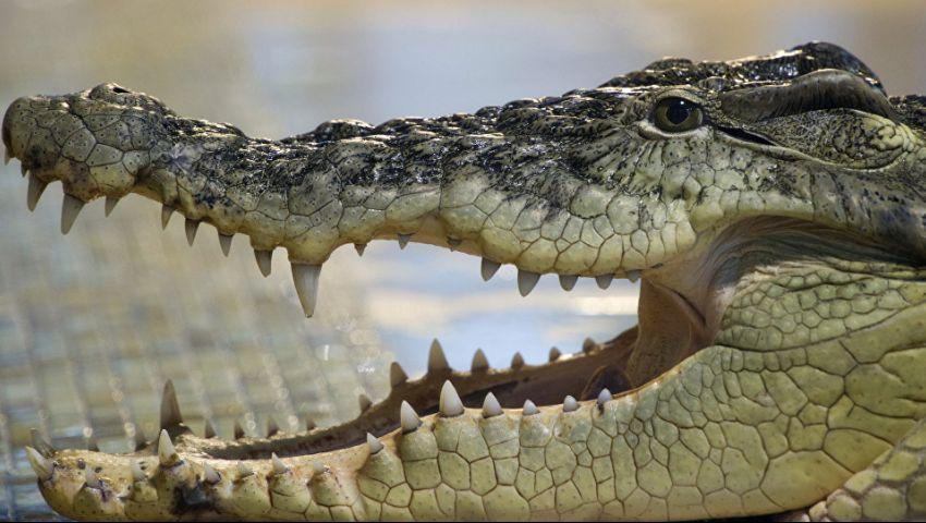 فيديو| تفاصيل العثور على تمساح بـ«المهندسين»