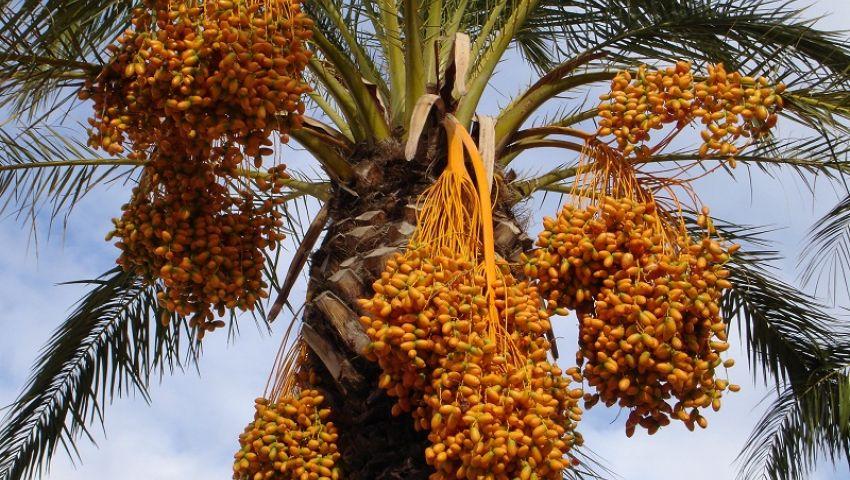 فتح سوق جديدة للبلح المصري في الصين