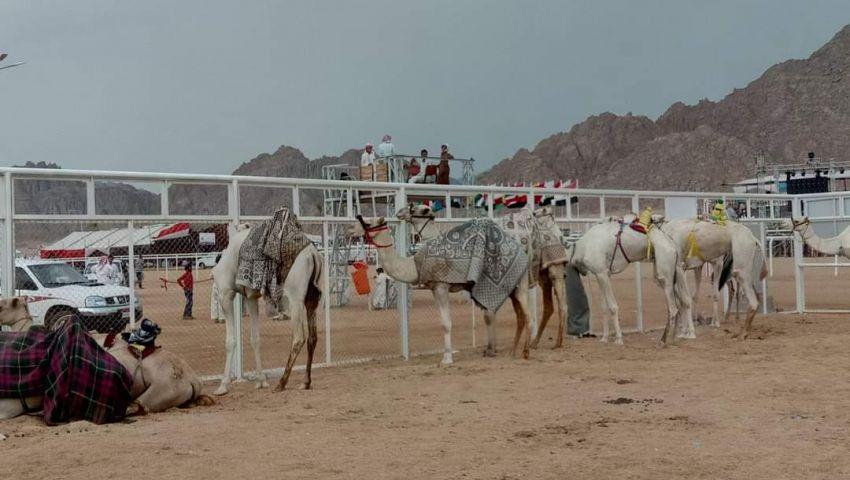 كل ما تريد معرفته عن مهرجان سباق الهجن بشرم الشيخ
