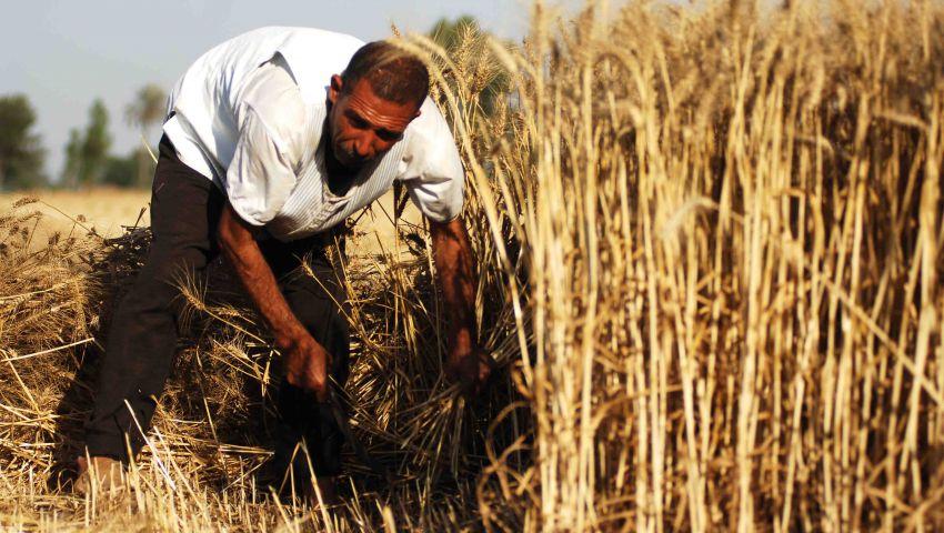 الزراعة: لدينا 3 ملايين فدان من القمح خلال 2016