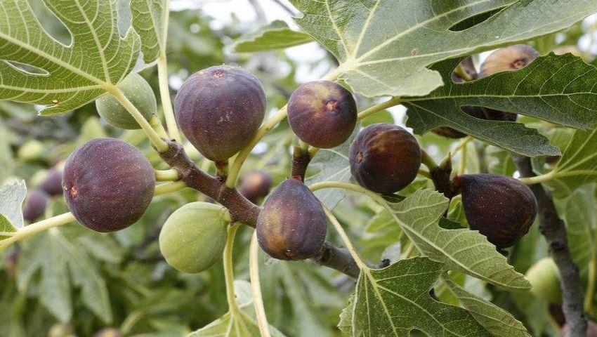 «التقليم والري».. أبرز توصيات الزراعة لزيادة إنتاج محصولي «التين والزيتون»