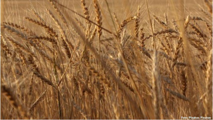 صحيفة ألمانية: مناقصات القمح لمصر وتركيا في بؤرة اهتمام أوروبا