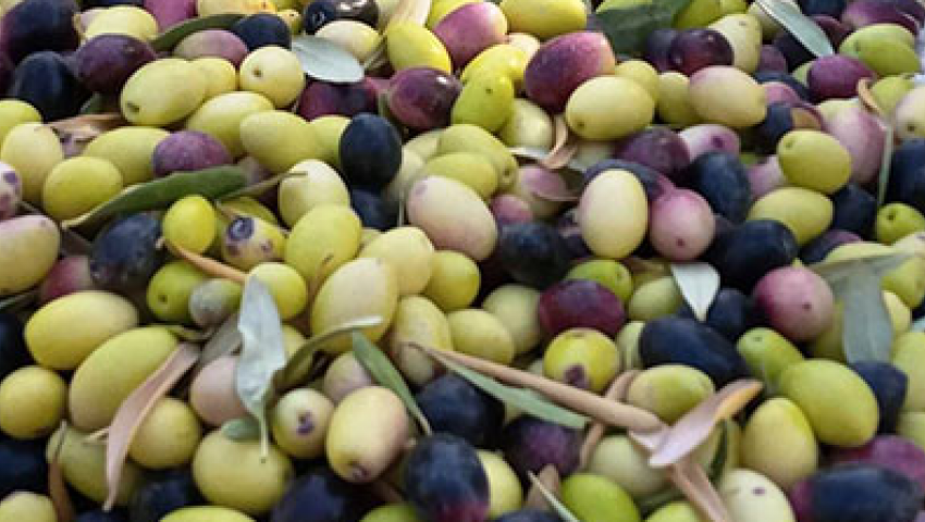 صور| حصاد زيتون سيوة.. مزارعون: الفدان ينتج 2000 كيلو.. وسعر الزيت يصل لـ 120 جنيهًا