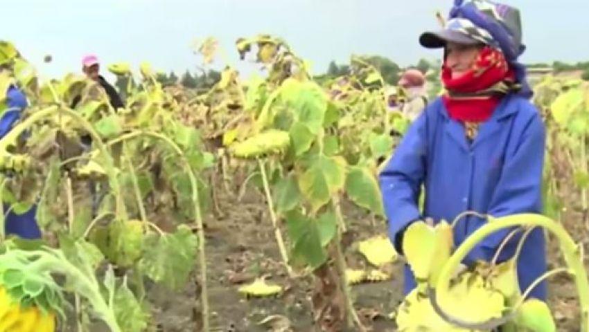 فيديو... إحصائية تونسية : 90% من العمالين فى الزراعة سيدات