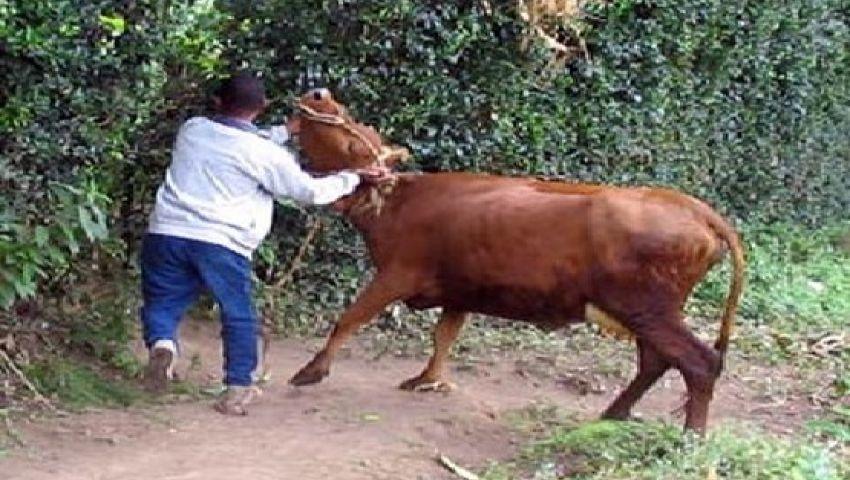 القبض على تشكيل عصابى تخصص فى سرقة الماشية بالمنيا
