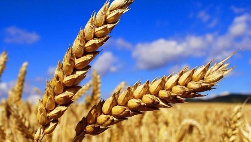 الزراعة: توريد 3.15 مليون طن قمح محلي منذ بداية الموسم
