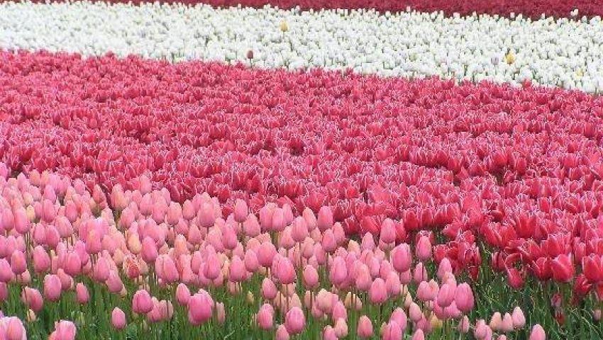 «يا ورد مين يشتريك».. أغاني تغزلت في حب الزهور