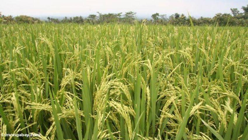 مطالب بمواجهة المضاربة بأسعار الأرز