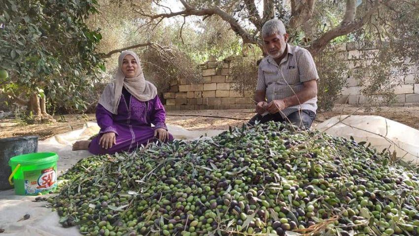 صور| زيتون سيناء.. زيت دري وفرح وخير للمزارعين